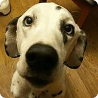 Adopt A Pet :: Indigo - Turlock, CA