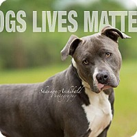 American Pit Bull Terrier Mix Dog for adoption in Macon, Georgia - Zoose