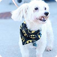 Adopt A Pet :: Louy - Morganville, NJ