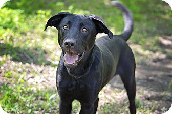 Labrador Retriever Mix Dog for adoption in Lewisville, Indiana - Geo