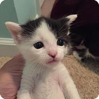 Adopt A Pet :: Mr. Chandler - Herndon, VA