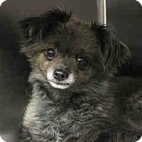 Adopt A Pet :: Dusty - Gilbert, AZ