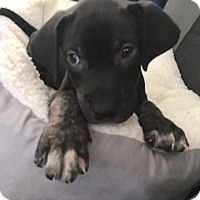 Adopt A Pet :: Duke - Las Vegas, NV