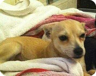 Chihuahua Mix Dog for adoption in Allen, Texas - Carmen