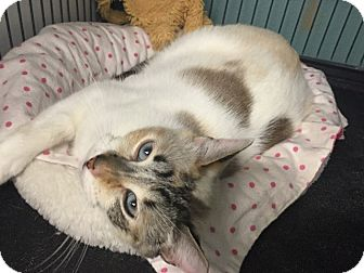 Siamese Cat for adoption in Tomball, Texas - Simone