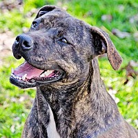 Mountain Cur Dog for adoption in Petersburg, Virginia - Lucy