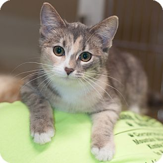 Domestic Shorthair Kitten for adoption in New Martinsville, West Virginia - Sandy