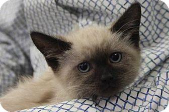 Domestic Shorthair Kitten for adoption in Walnut Creek, California - Lafayette Kittens