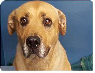 Labrador Retriever Mix Dog for adoption in Springdale, Arkansas - Sunshine