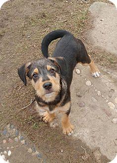 Shepherd (Unknown Type)/Labrador Retriever Mix Puppy for adoption in Duchess, Alberta - Korben