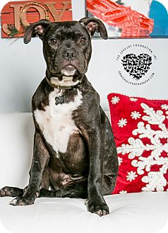 Boxer/Pit Bull Terrier Mix Puppy for adoption in Inglewood, California - Flynn