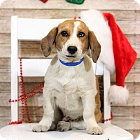 Adopt A Pet :: Eddie - Waldorf, MD