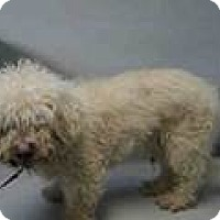 Adopt A Pet :: Brady Poodly - Westerly, RI