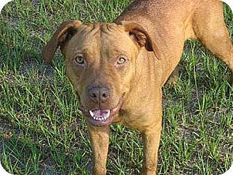 Redbone Coonhound/American Bulldog Mix Dog for adoption in Orange Lake, Florida - Jessie