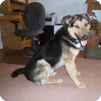 Barron | Adopted Dog | Denver, CO | German Shepherd Dog ...