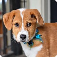 Adopt A Pet :: Levi - Baton Rouge, LA