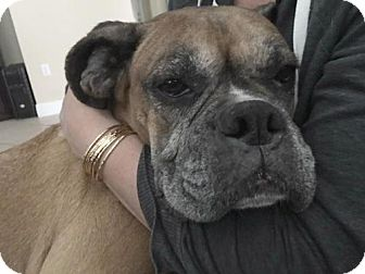 Boxer Dog for adoption in Central & West Florida, Florida - Harley Rider