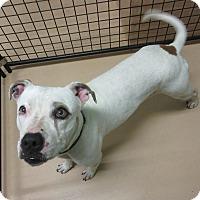 Adopt A Pet :: CHARLEIGH - Phoenix, AZ