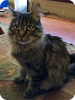 Maine Coon Cat for adoption in Tucson, Arizona - Sofia
