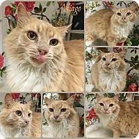 Adopt A Pet :: Asiago - Joliet, IL