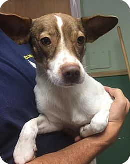 Basenji Mix Dog for adoption in Kaufman, Texas - Olivia