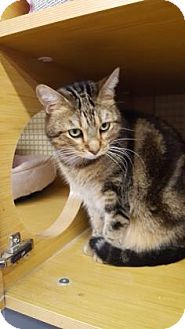 Bengal Cat for adoption in Tucson, Arizona - Twinkie