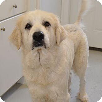 Great Pyrenees Dog for adoption in Pacific, Missouri - Lady GaGa