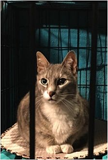 Domestic Shorthair Cat for adoption in West Orange, New Jersey - Shady