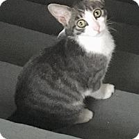Adopt A Pet :: Cotton Candy - Warren, MI