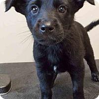 Labrador Retriever/Shepherd (Unknown Type) Mix Puppy for adoption in Shorewood, Illinois - ADOPTED!!!   Teresa