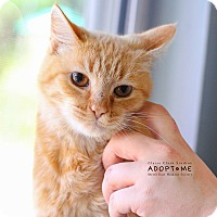 Adopt A Pet :: Pumpkin - Edwardsville, IL