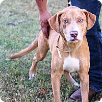 Catahoula Leopard Dog/Labrador Retriever Mix Dog for adoption in Goodlettsville, Tennessee - Kato