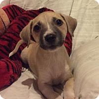Adopt A Pet :: Sasha - Barnhart, MO