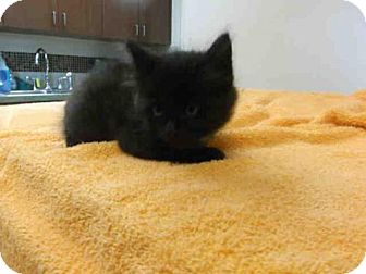 Domestic Mediumhair Kitten for adoption in Pearland, Texas - SPIDER