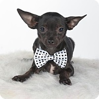Chihuahua Puppy for adoption in St. Louis Park, Minnesota - Hulk