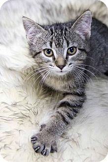 Domestic Shorthair Kitten for adoption in St. Louis Park, Minnesota - Lovey