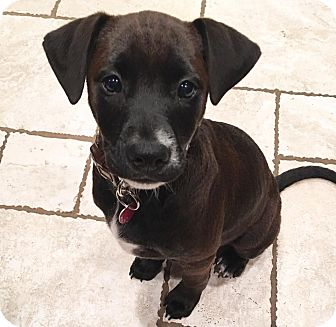 Labrador Retriever Mix Puppy for adoption in GREENLAWN, New York - Penny