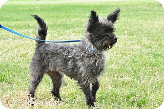 Cairn Terrier Mix Dog for adoption in Ridgecrest, California - Toto