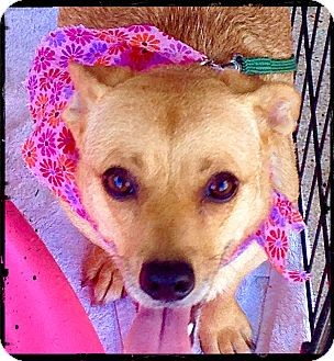 Corgi/Dachshund Mix Dog for adoption in Johnson City, Texas - Sheila