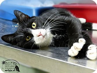 Domestic Shorthair Cat for adoption in Marlinton, West Virginia - Jenkins--RESCUED!