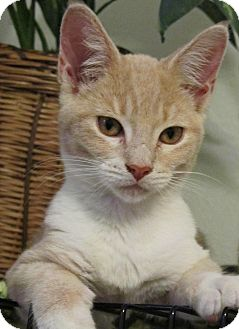 Domestic Shorthair Kitten for adoption in Seminole, Florida - Rossi