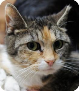 Domestic Shorthair Cat for adoption in Medford, Massachusetts - Tootsie