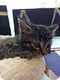 Domestic Mediumhair Kitten for adoption in Fountain Hills, Arizona - AFFINITY