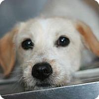 Adopt A Pet :: Alfie - Canoga Park, CA