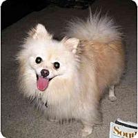 Adopt A Pet :: Sir Bailee - Bryan, TX