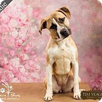 Adopt A Pet :: Haddie - Ottawa, KS