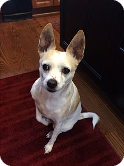 Jack Russell Terrier/Chihuahua Mix Dog for adoption in Charlotte, North Carolina - Etsy