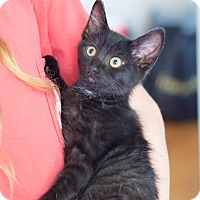 Domestic Shorthair Kitten for adoption in Homewood, Alabama - Bullwinkle