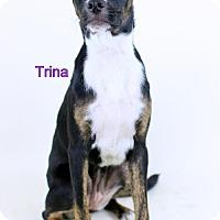 Adopt A Pet :: Trina - Needs Foster - Bloomington, MN
