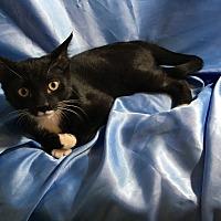 Oriental Kitten for adoption in Sarasota, Florida - Joey